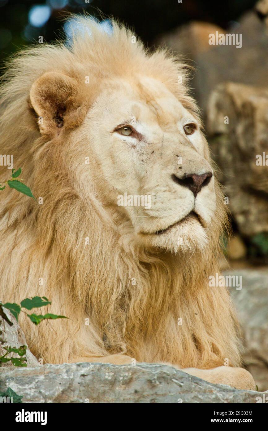 Transvaal lion (Panthera leo krugeri) - Stock Image
