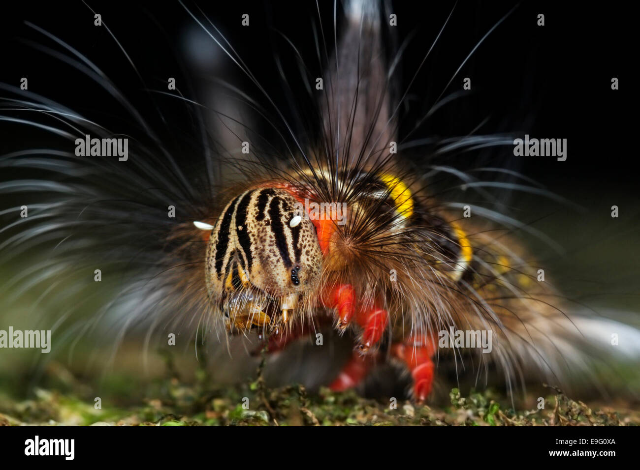 Close up of brightly coloured hairy caterpillar of Lasiocampidae species in tropical rainforest of Borneo - Stock Image