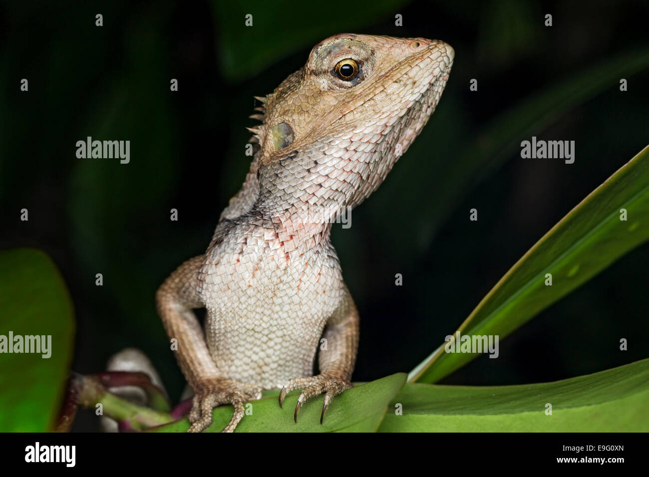 Changeable lizard (Calotes versicolor) - Stock Image