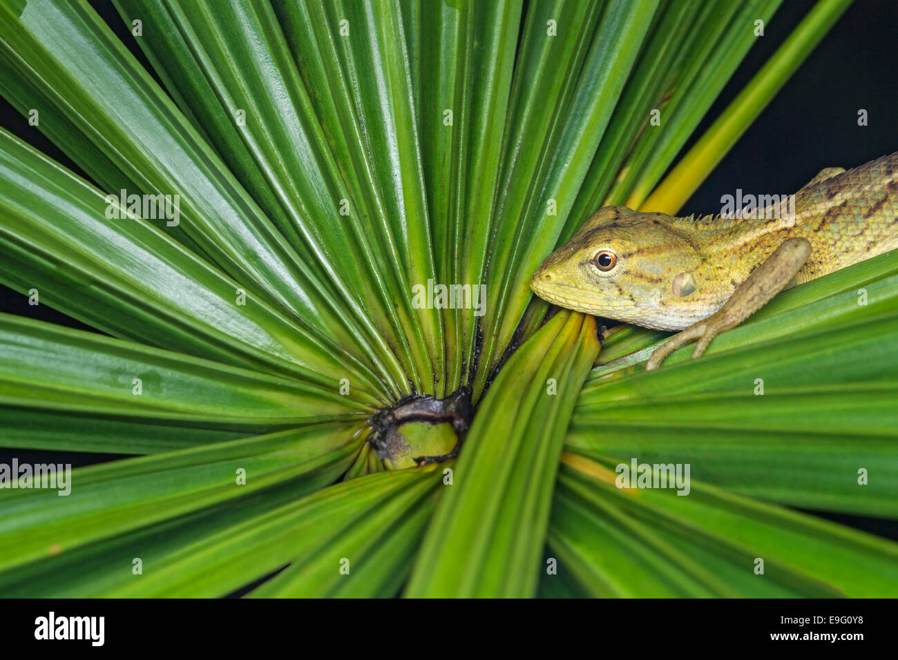 Changeable lizard (Calotes versicolor) at night - Stock Image
