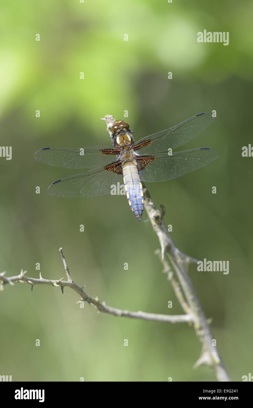 Four-spotted Chaser Four-spotted Chaser - Stock Image