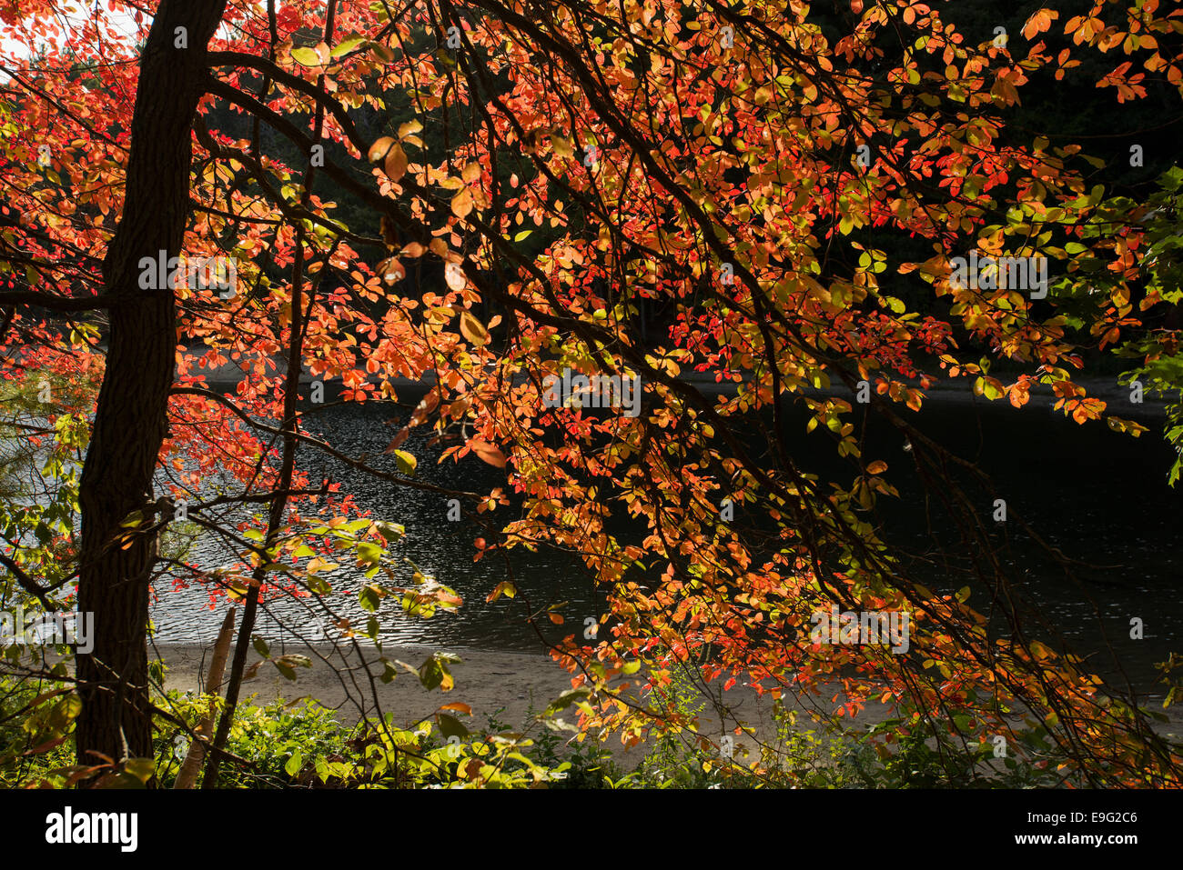 Fall colors in Walden Pond Concord MA Massachusetts USA - Stock Image