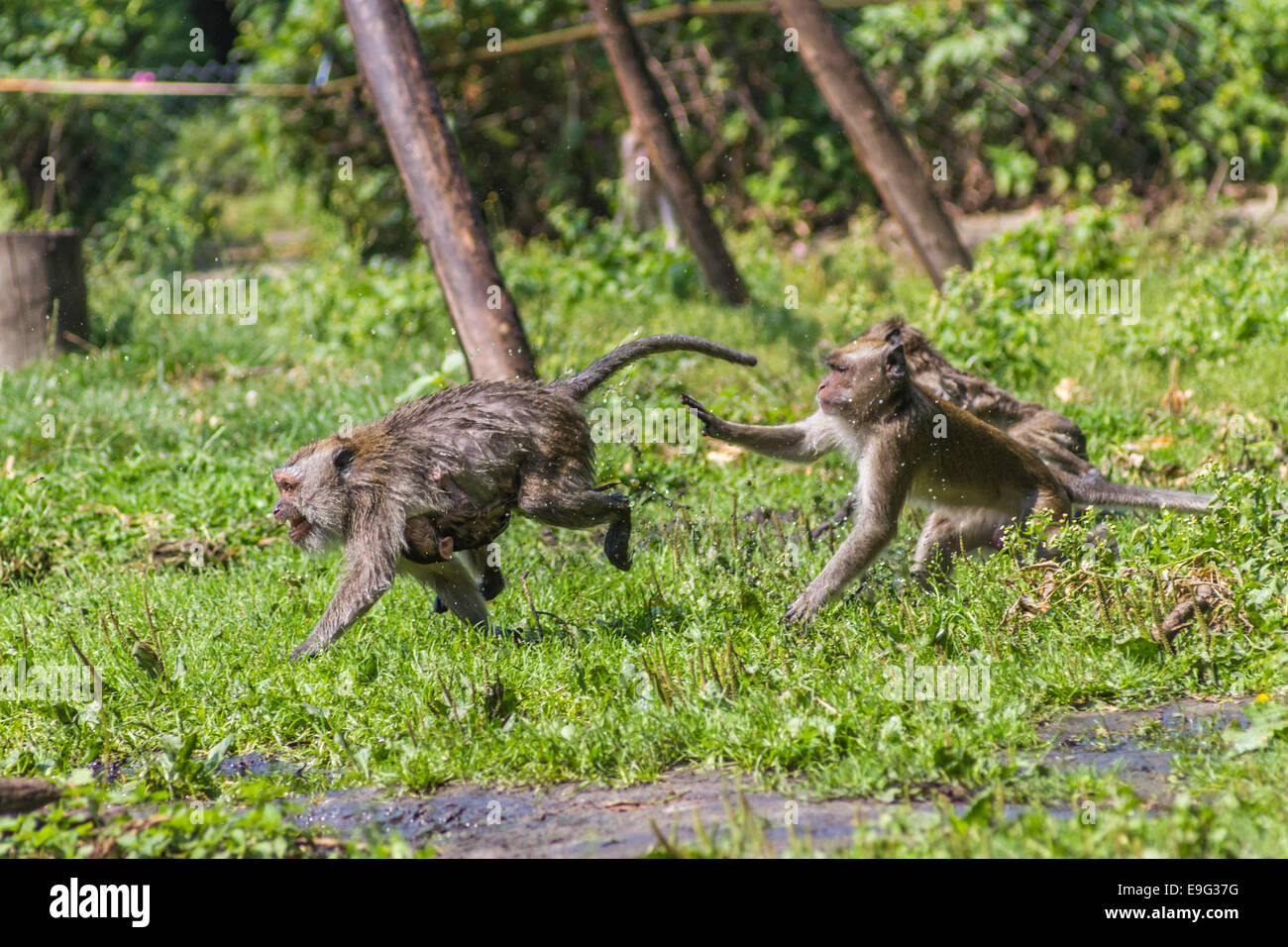 Monkey mother and its baby escaping - Stock Image