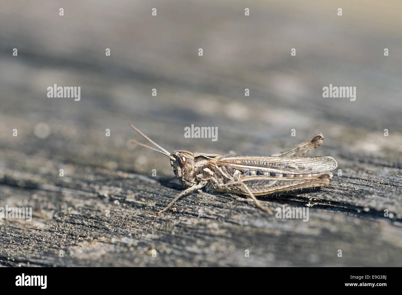 Bow-winged grasshopper (Chorthippus biguttulus) - Stock Image