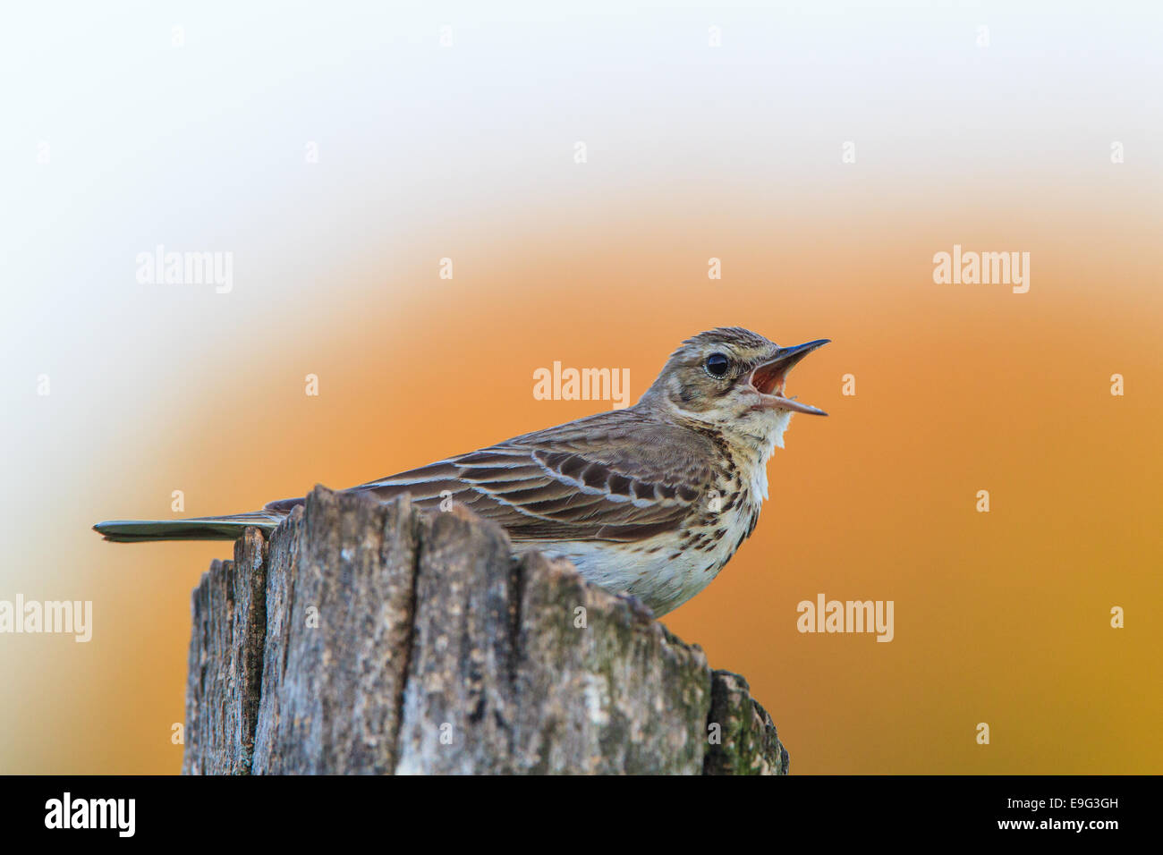 brown tree-pipit [Am.] [Anthus trivialis] Stock Photo