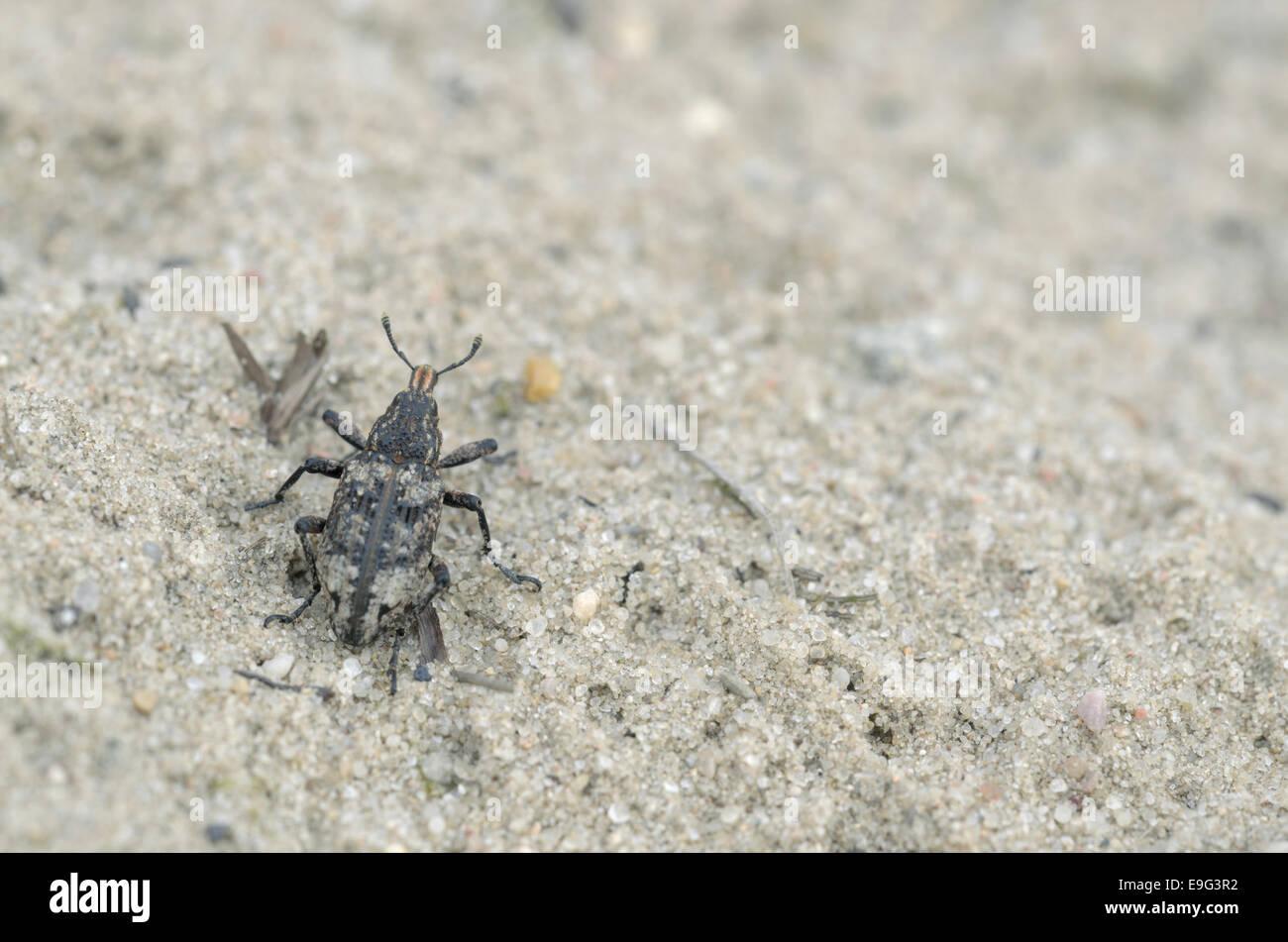 Snout beetle (Coniocleonus hollbergi) - Stock Image