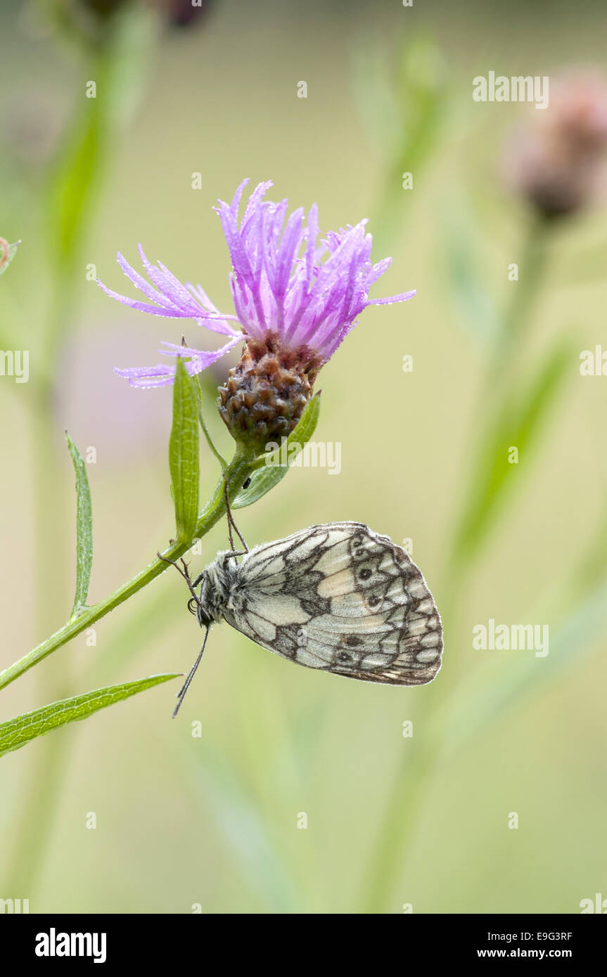 Marbled White (Melanargia galathea) - Stock Image