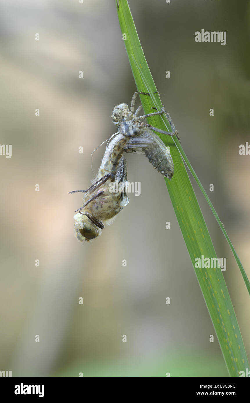 Downy Emerald (Cordulia aenea) - Stock Image