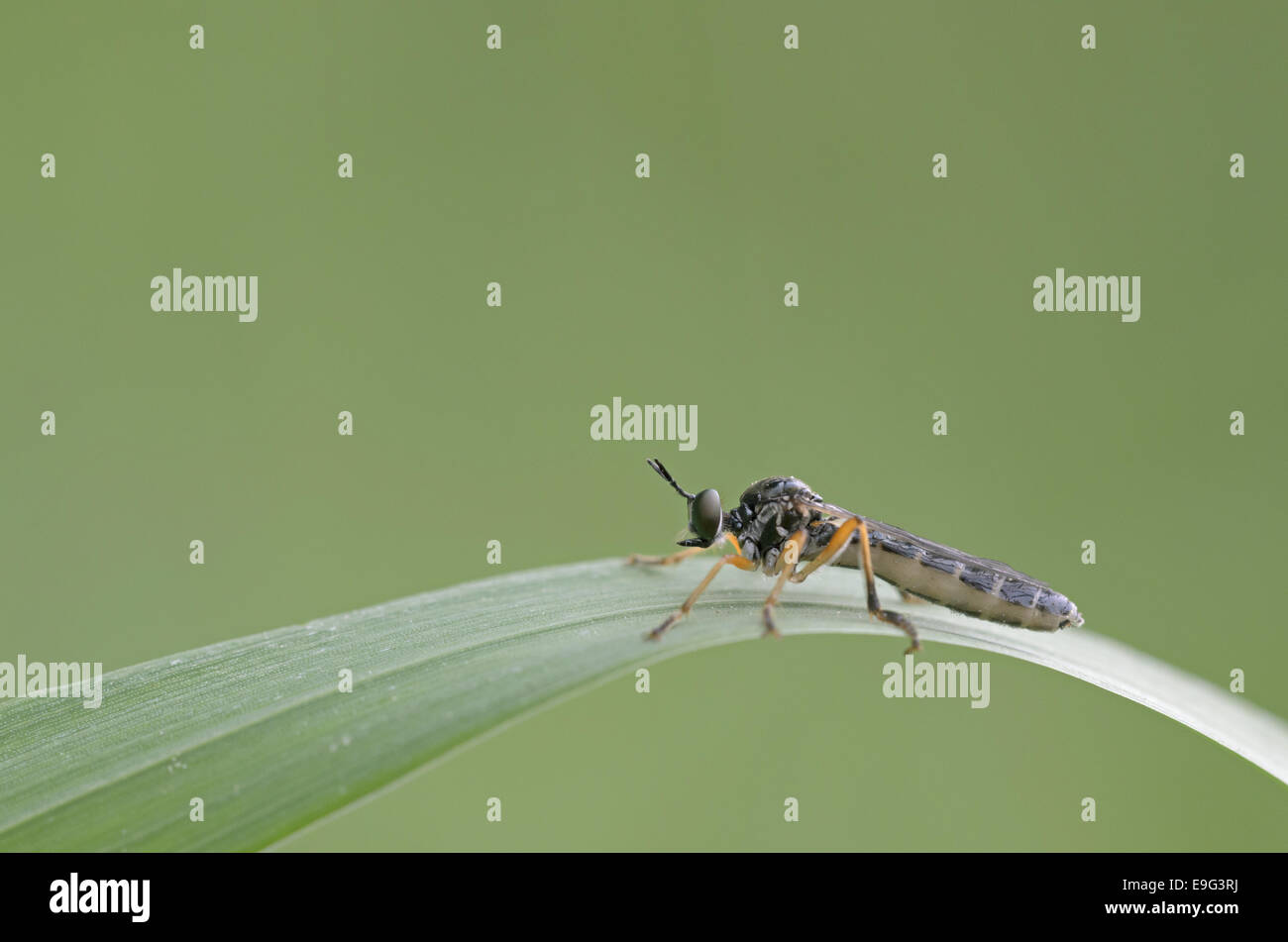 Robberfly (Dioctria hyalipennis) - Stock Image