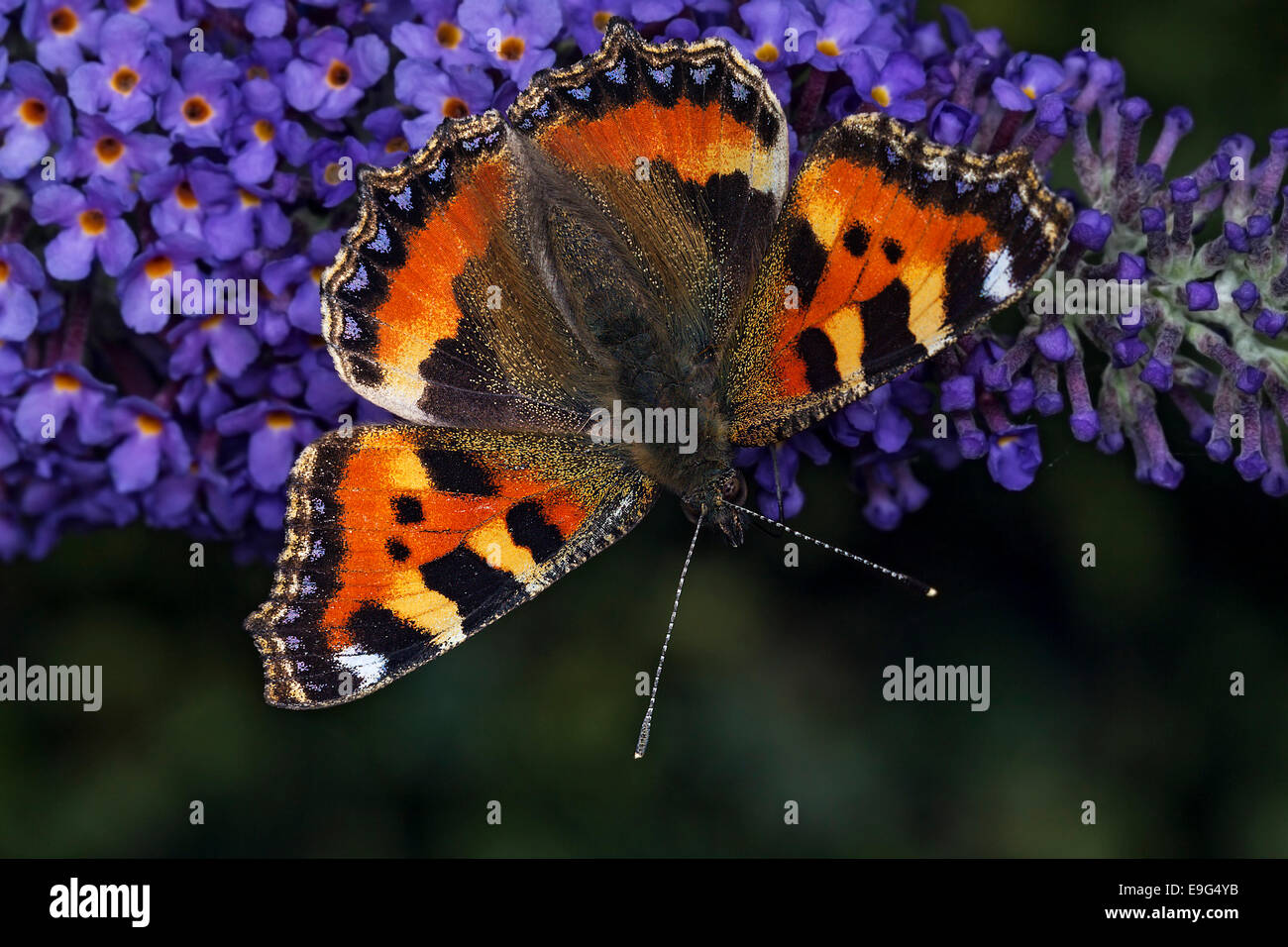 Small Tortoiseshell (Aglais urticae) butterfly feeding on nectar of a buddleia plant in an English country garden Stock Photo