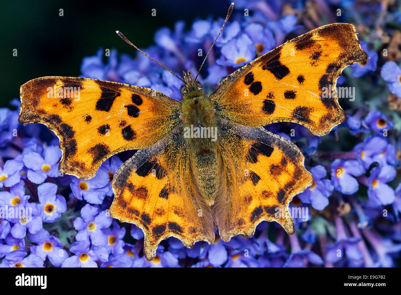 Comma Butterfly (Polygonia c-album) feeding on nectar of a buddleia plant in an English country garden Stock Photo