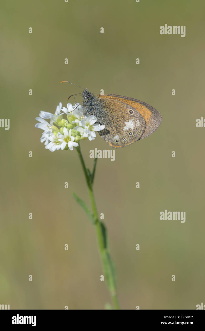 Chestnut Heath (Coenonympha glycerion) - Stock Image