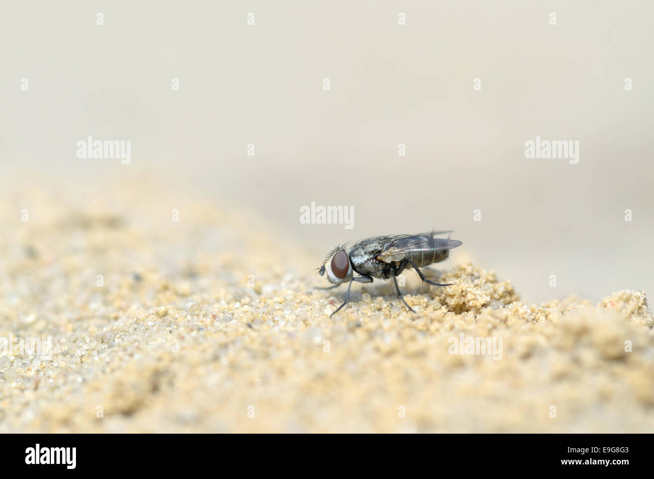 Fly (Polietes lardarius) - Stock Image