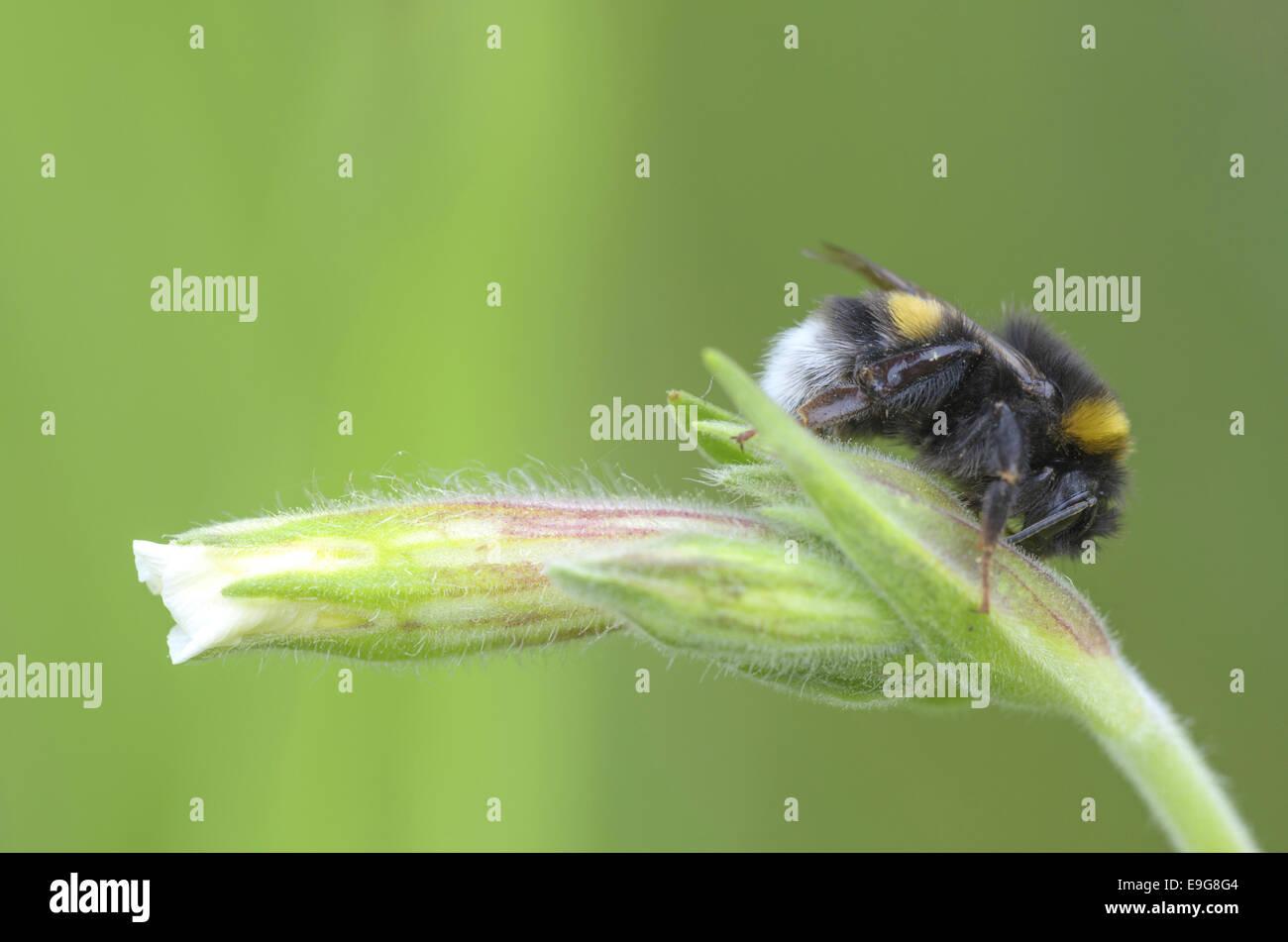 Buff-Tailed Bumblebee (Bombus terrestris) - Stock Image