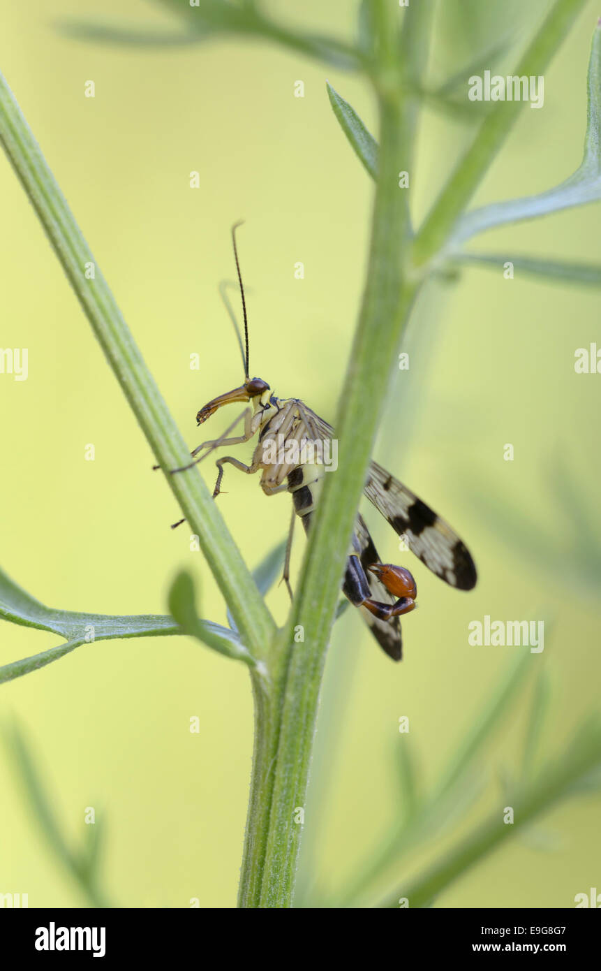 Common scorpionfly, male,  (Panorpa communis) - Stock Image