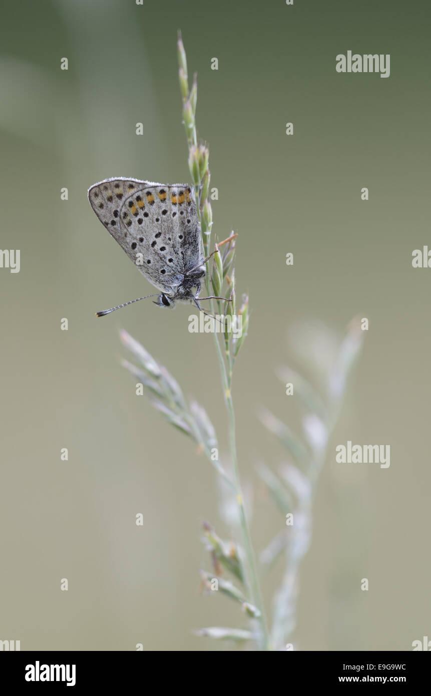 Small Copper (Lycaena phlaeas) - Stock Image