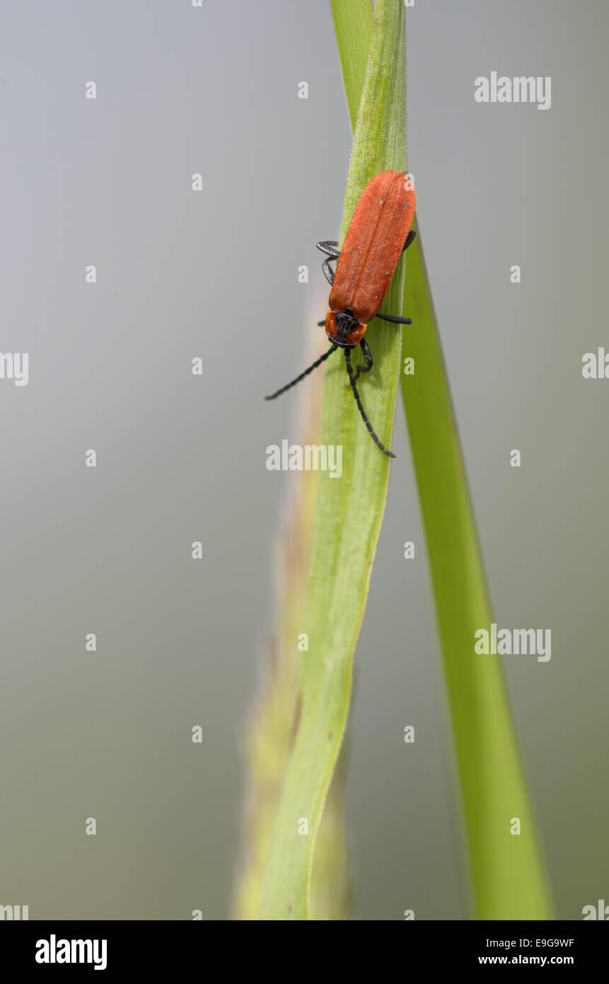 Net-Winged beetle (Lygistopterus sanguineus) - Stock Image