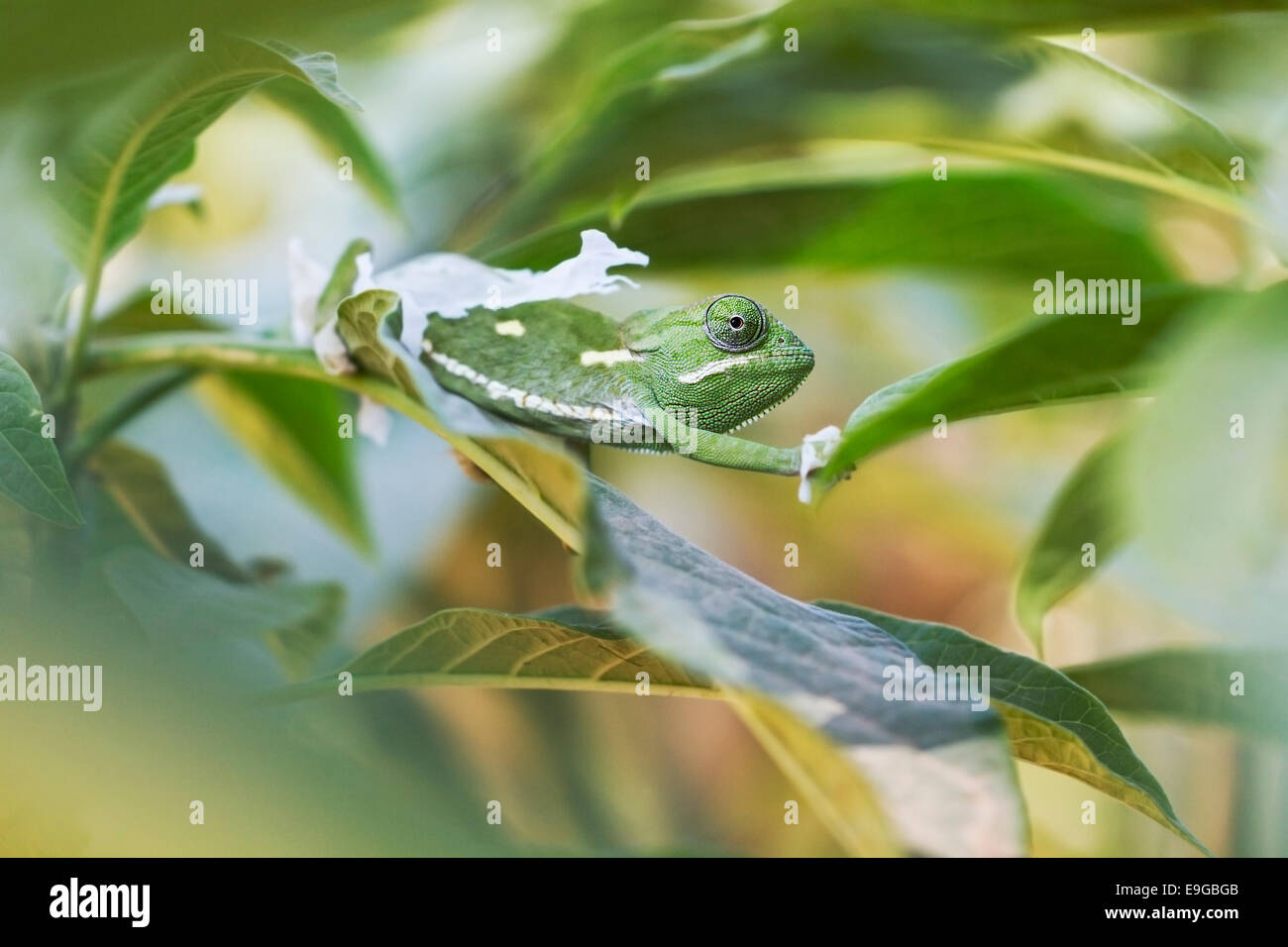 Flap-necked Chameleon (Chamaeleo dilepis) shedding its skin in a shrub in Livingstone, Zambia - Stock Image