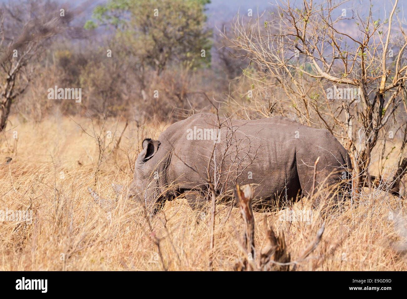 White Rhinoceros (Ceratotherium simum) feeding in shrubland in Mosi-oa-Tunya National Park near Victoria Falls, Stock Photo