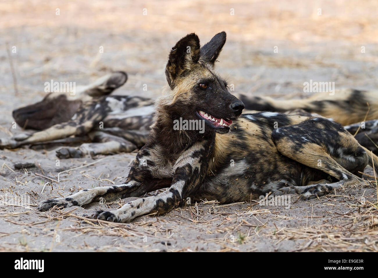 African wild dog (Lycaon pictus) resting in the shade after hunting - Stock Image