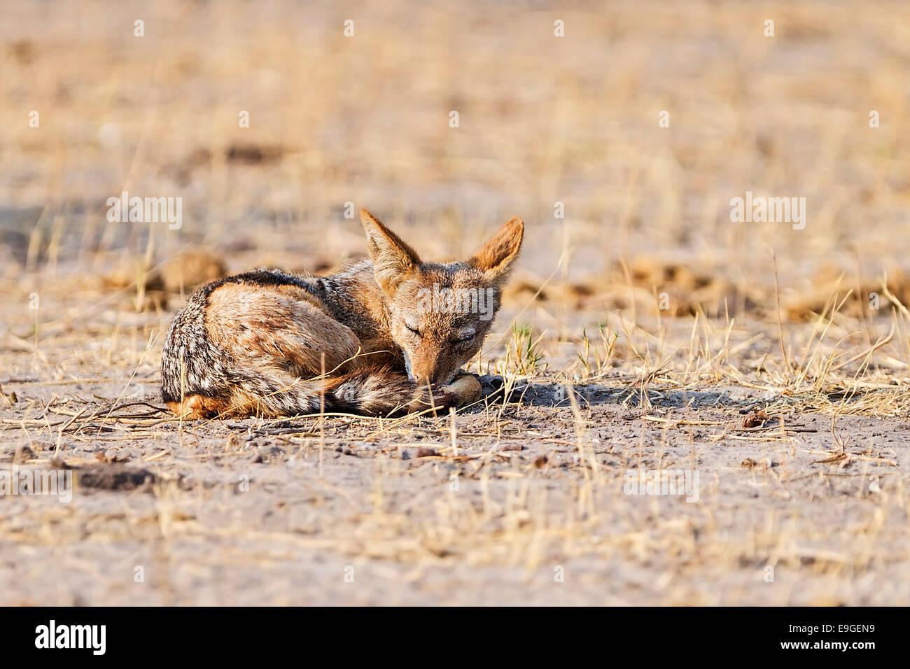Black-backed jackal (Canis mesomelas) sleeping at sunrise, Chobe National Park, Botswana - Stock Image
