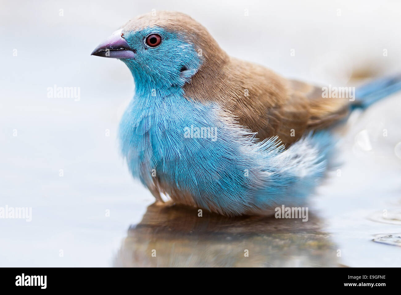 Close-up of a Blue waxbill (Uraeginthus angolensis), also called Blue-breasted cordon-bleu, bathing in water. Botswana - Stock Image