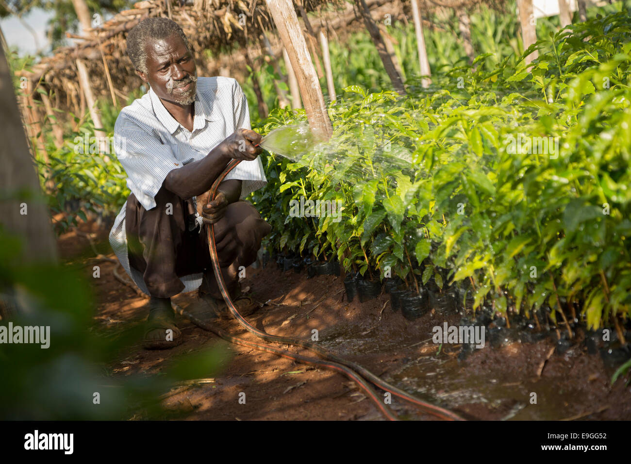 A farmer waters coffee seedlings at a coffee nursery at Kabondo Farmers' Cooperative Society in Rachuonyo South, - Stock Image
