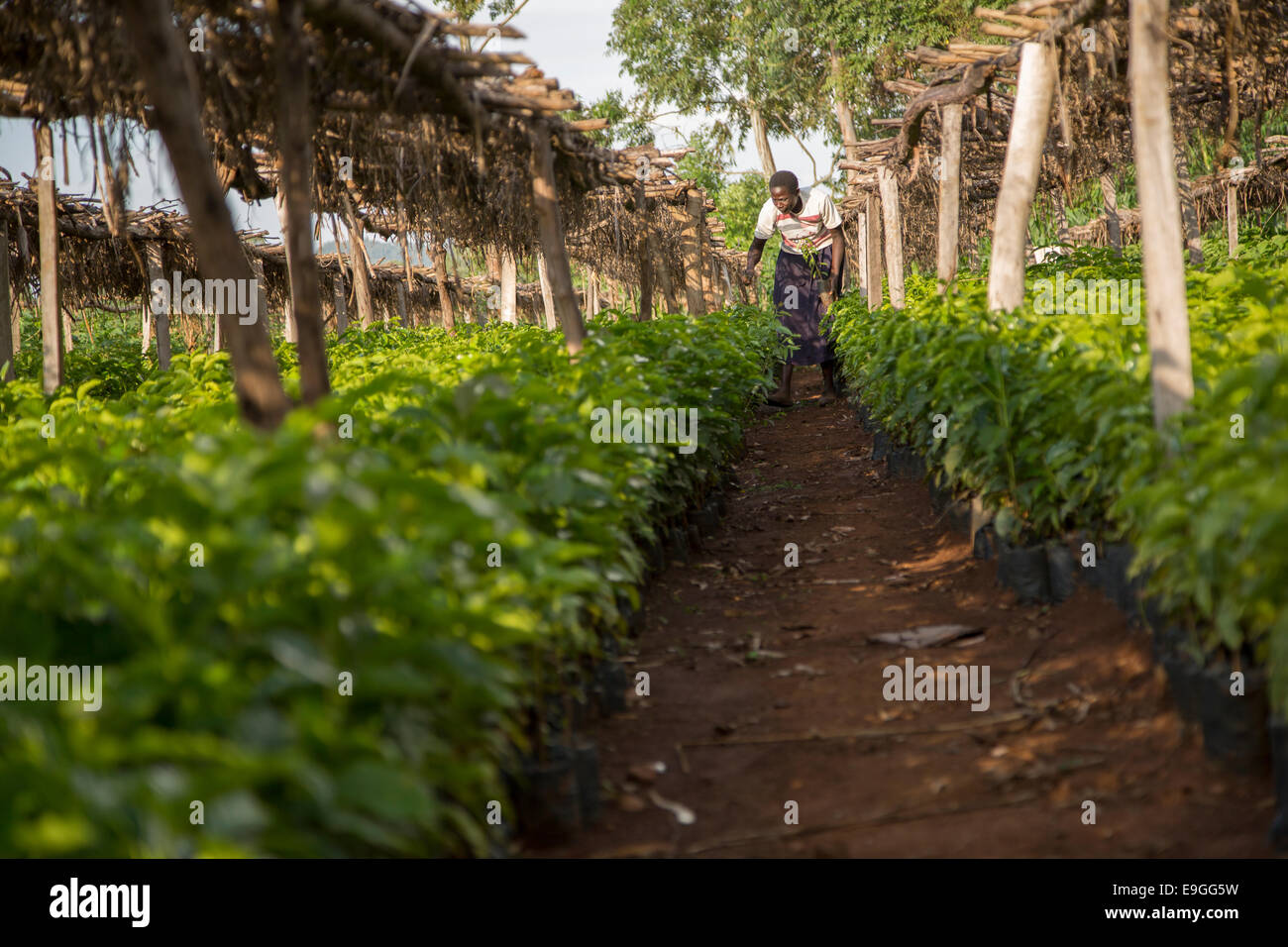 A farmer plants coffee seedlings in the nursery at Kabondo Farmers' Cooperative Society in Rachuonyo South, - Stock Image