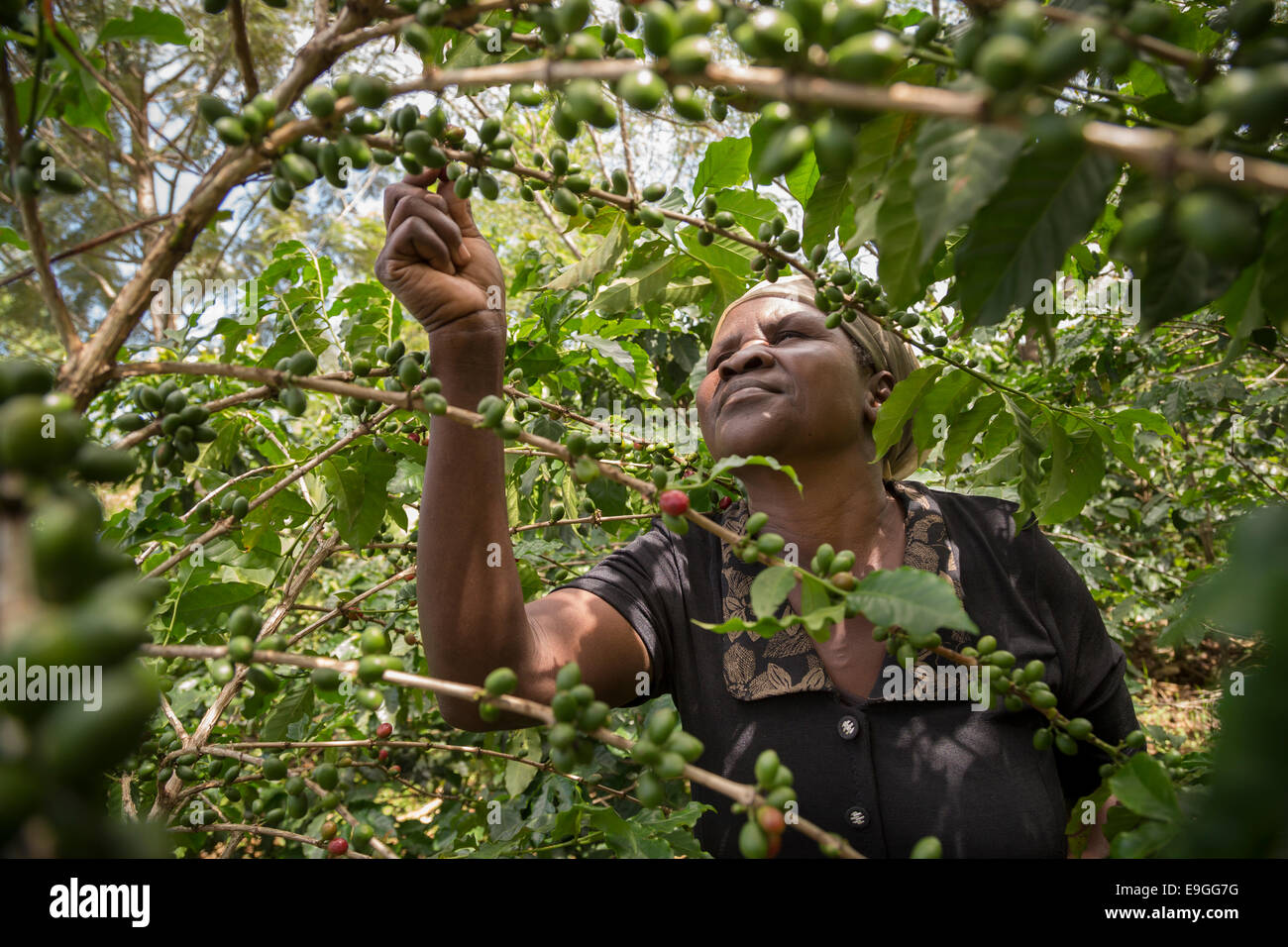 A small farmer picks coffee cherries in her field. - Stock Image