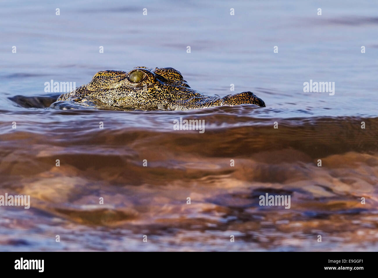 Close-up of Nile crocodile (Crocodylus niloticus) - Stock Image