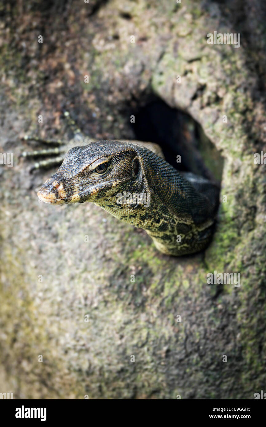 Malayan Water Monitor Lizard (Varanus salvator) emerges from a hole in a mangrove tree - Stock Image