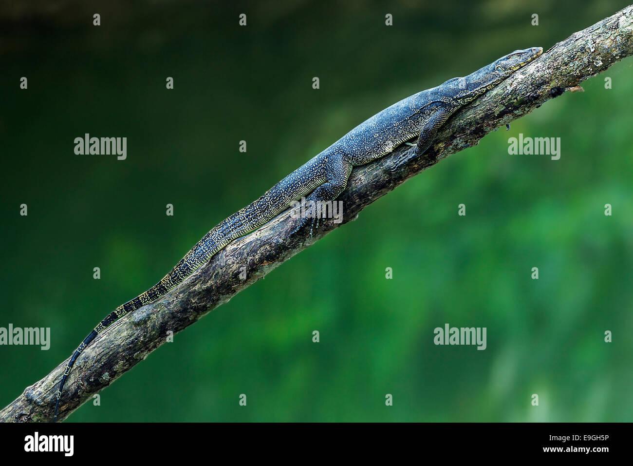 Malayan Water Monitor Lizard (Varanus salvator) sleeping on a mangrove tree - Stock Image