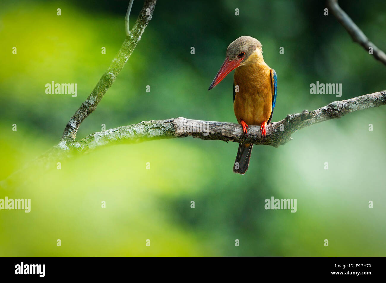 Stork-billed kingfisher (Pelargopsis capensis) hunting in a mangrove - Stock Image
