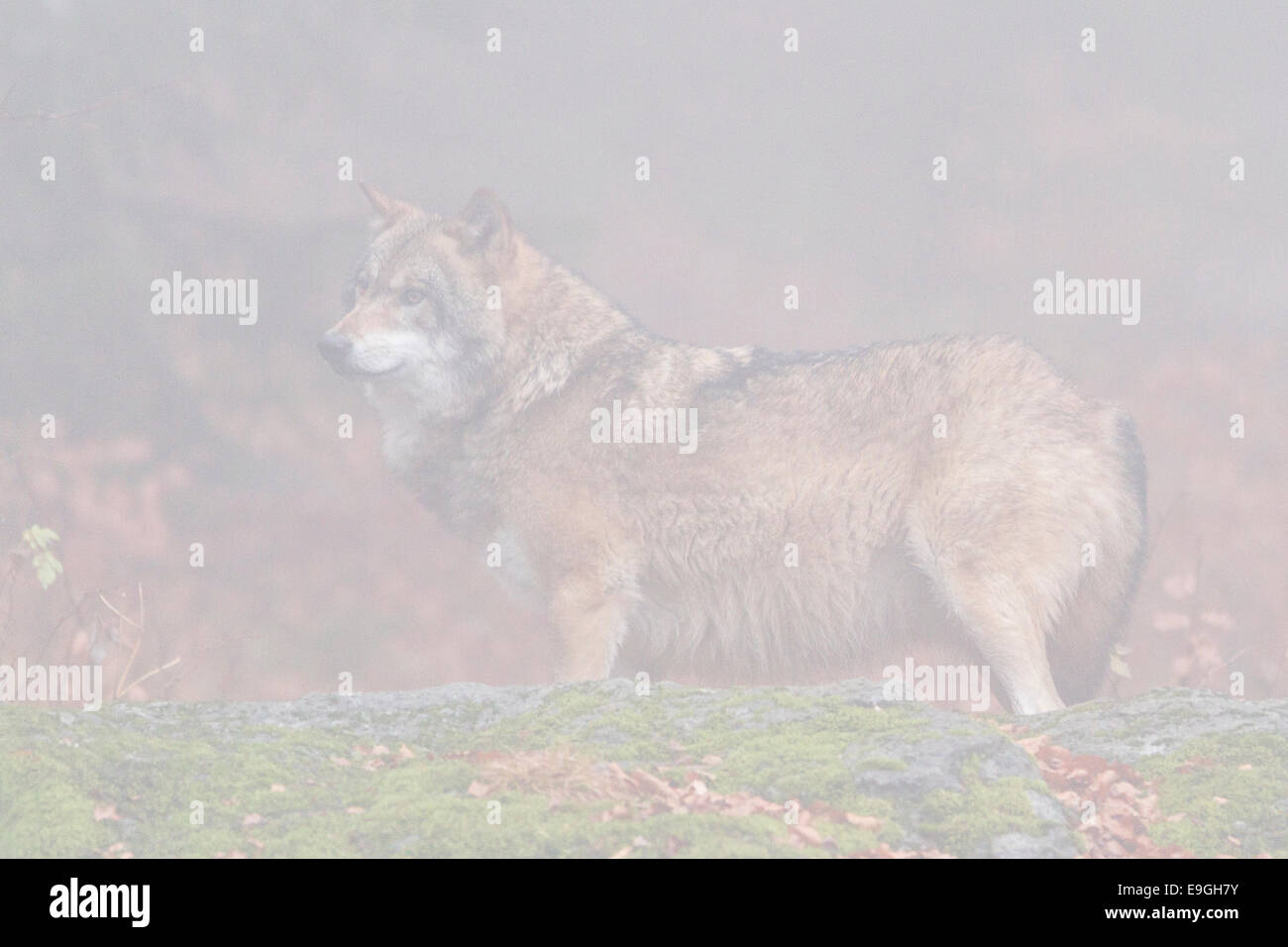 A captive male grey wolf stands on a rock in a misty forest, Bavarian Forest National Park, Germany Stock Photo