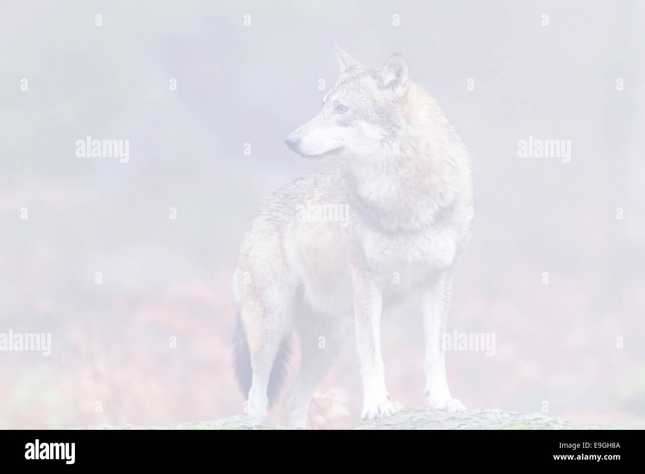 A captive female grey wolf stands on a rock in a misty forest, Bavarian Forest National Park, Germany Stock Photo