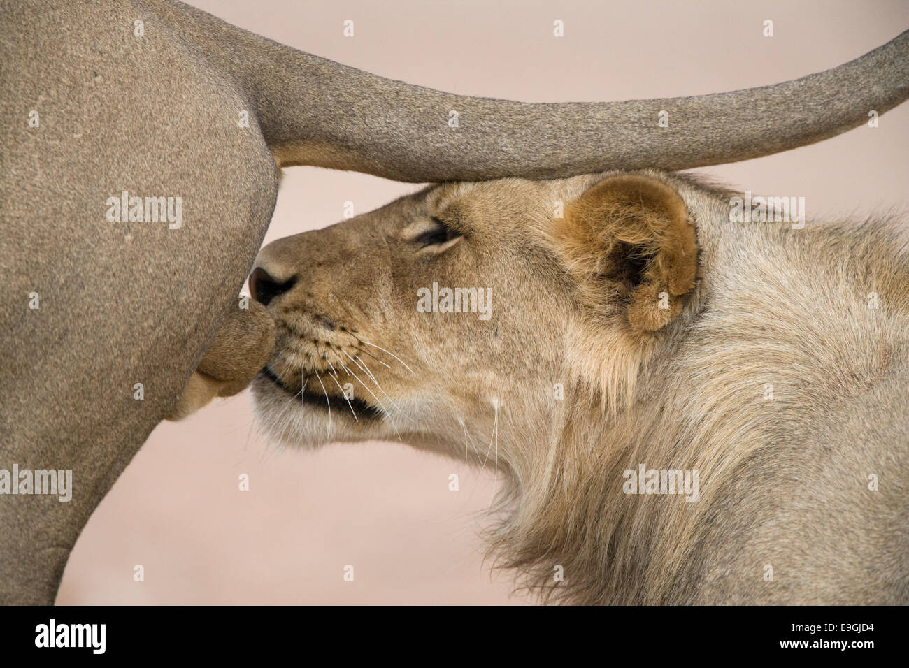 Subadult male lion, Panthera leo, sniffing genitals of dominant male ...
