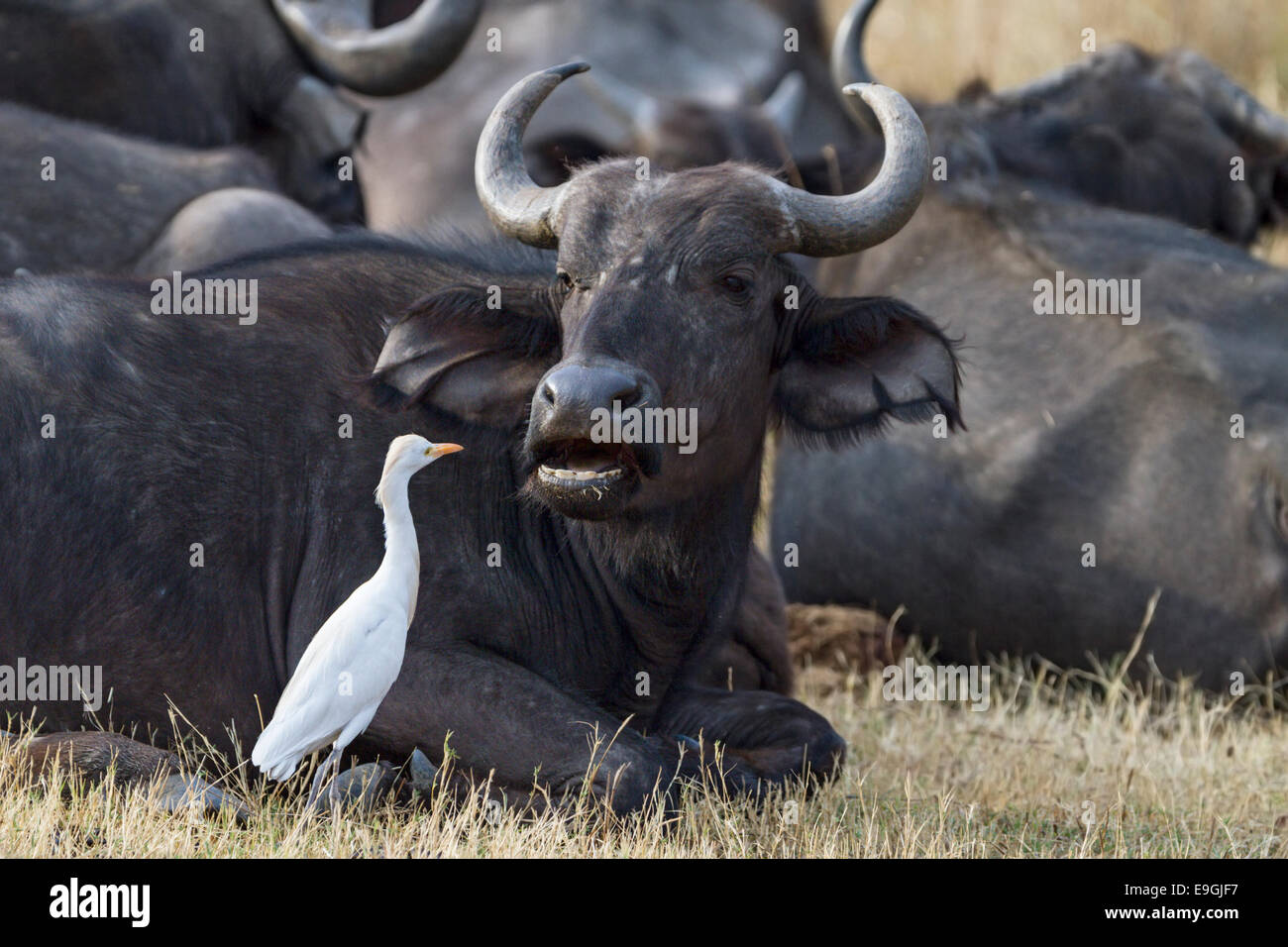 Cattle egret (Bubulcus ibis) inspects the mouth of a Cape buffalo (Syncerus caffer) - Stock Image