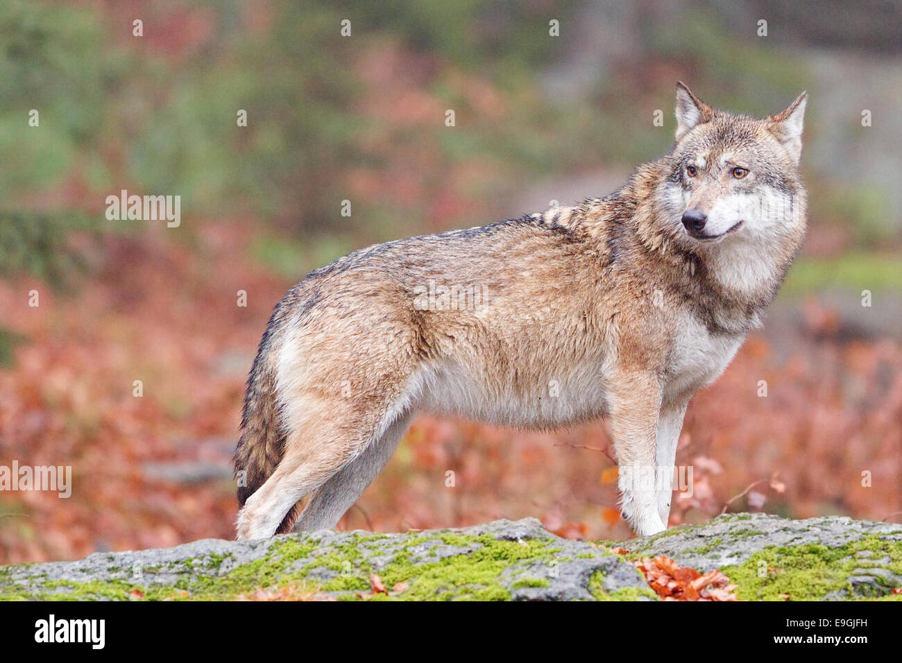 A captive female grey wolf stands on a rock in an autumnal forest, Bavarian Forest National Park, Germany - Stock Image