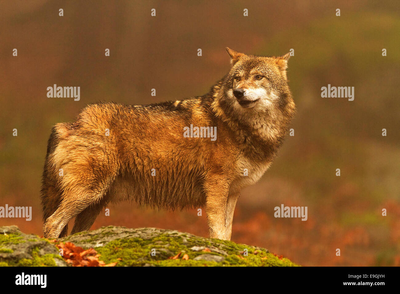 Captive male Grey Wolf looks over his shoulder, Bavarian Forest National Park, Germany Stock Photo