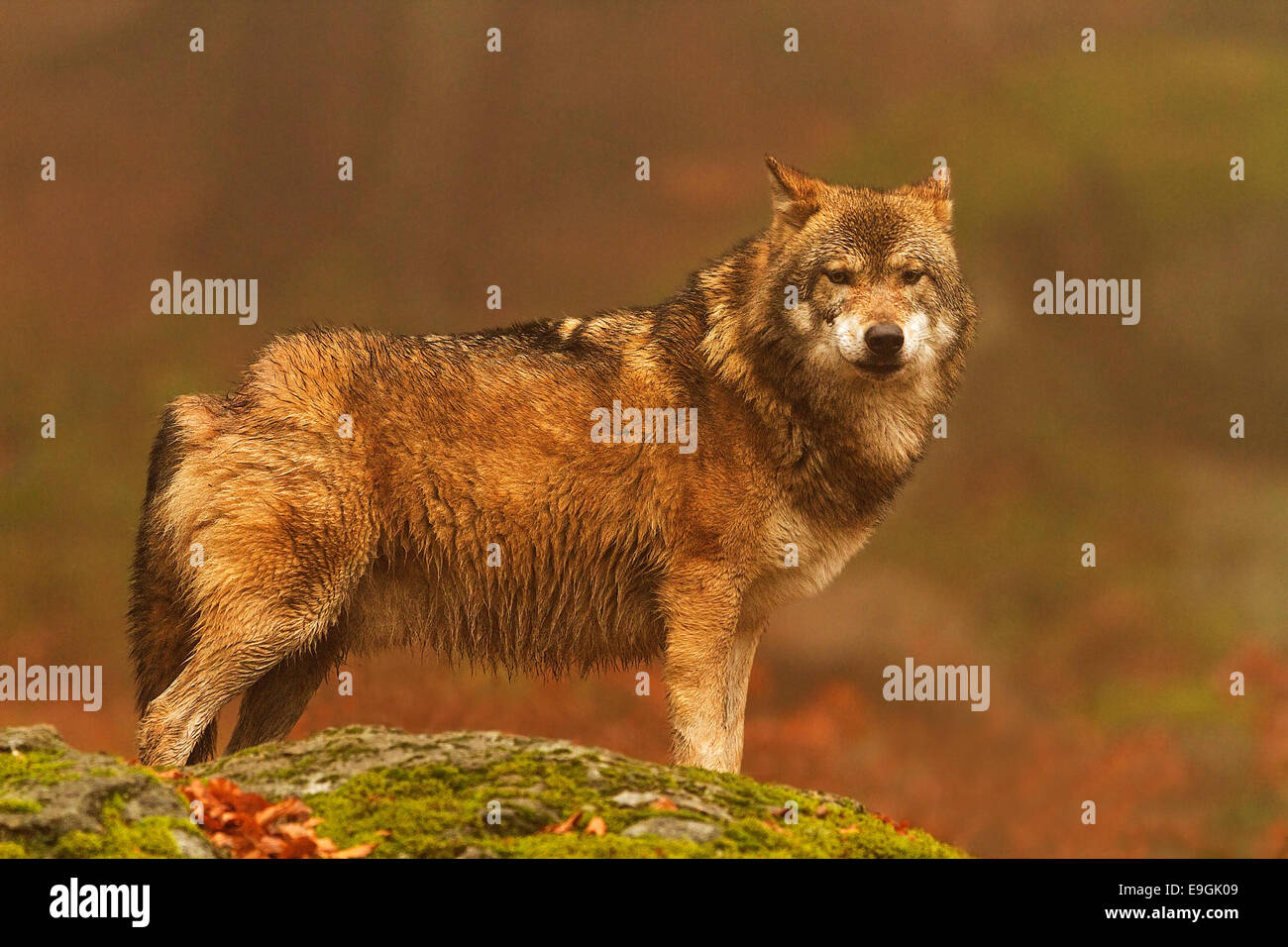 Captive male Grey Wolf eye contact, Bavarian Forest National Park, Germany Stock Photo