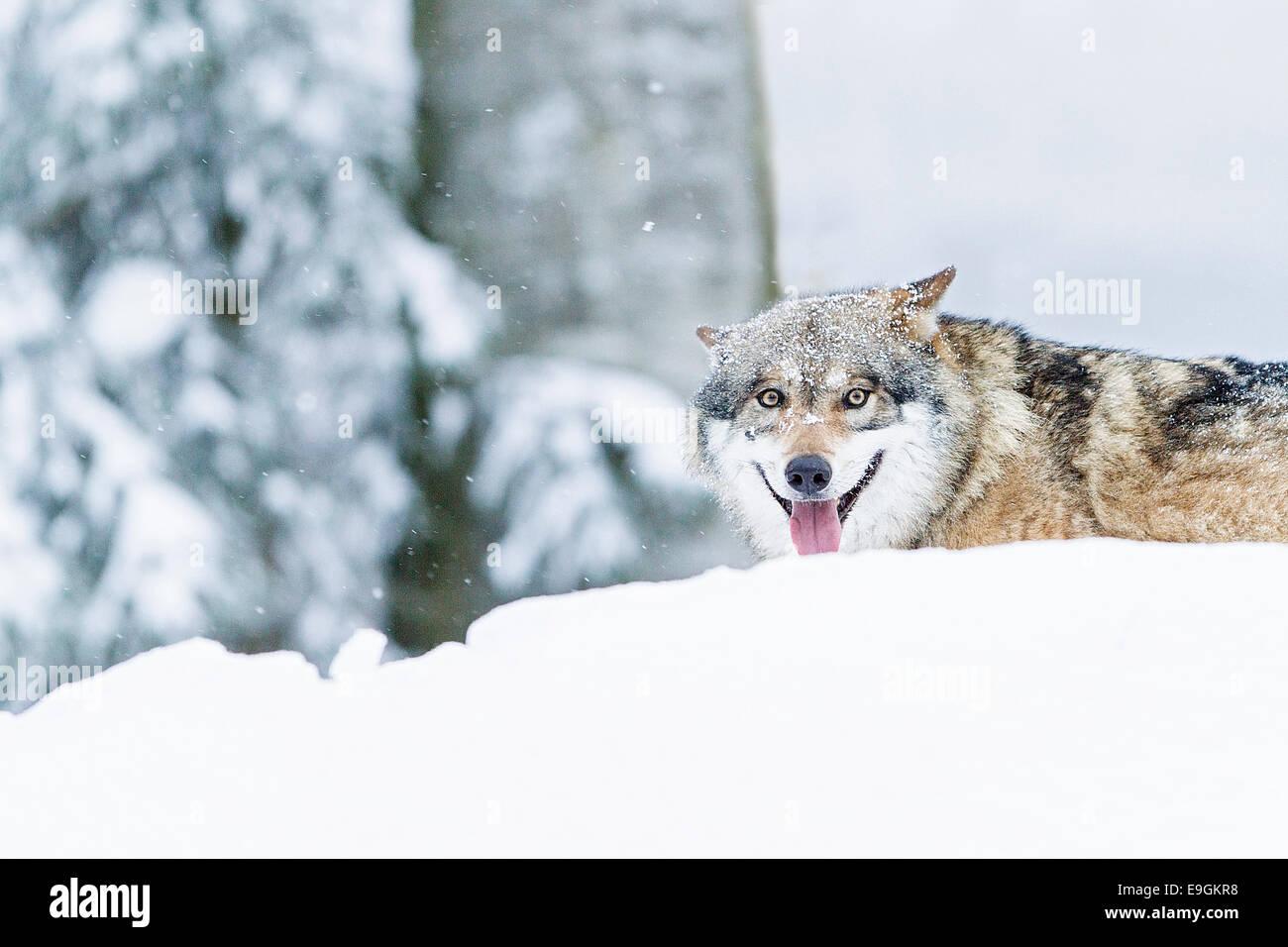 Captive Grey Wolf (Canis lupus) panting - Stock Image