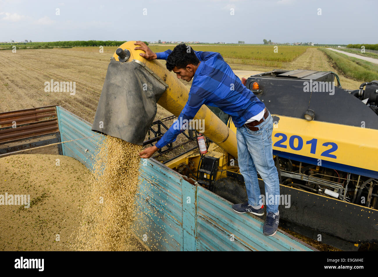 TURKEY, Solaklı Belediyesi, near Adana, harvest of conventional soy beans with New Holland combine harvester - Stock Image