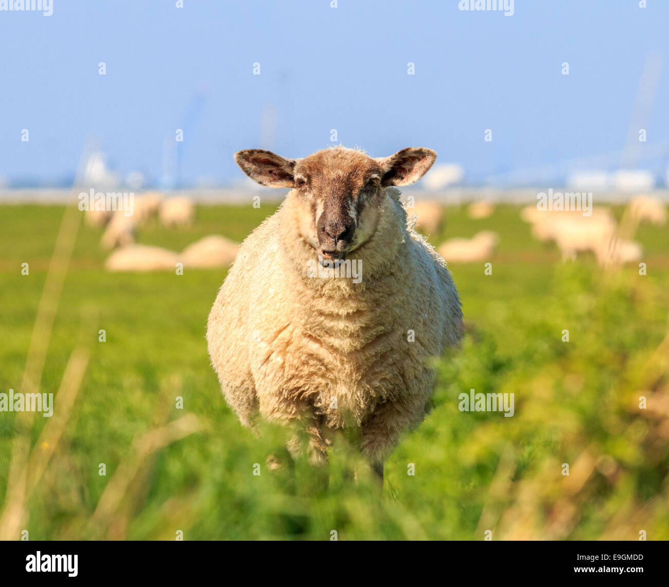 A droll ruminating sheep in the meadow - Stock Image