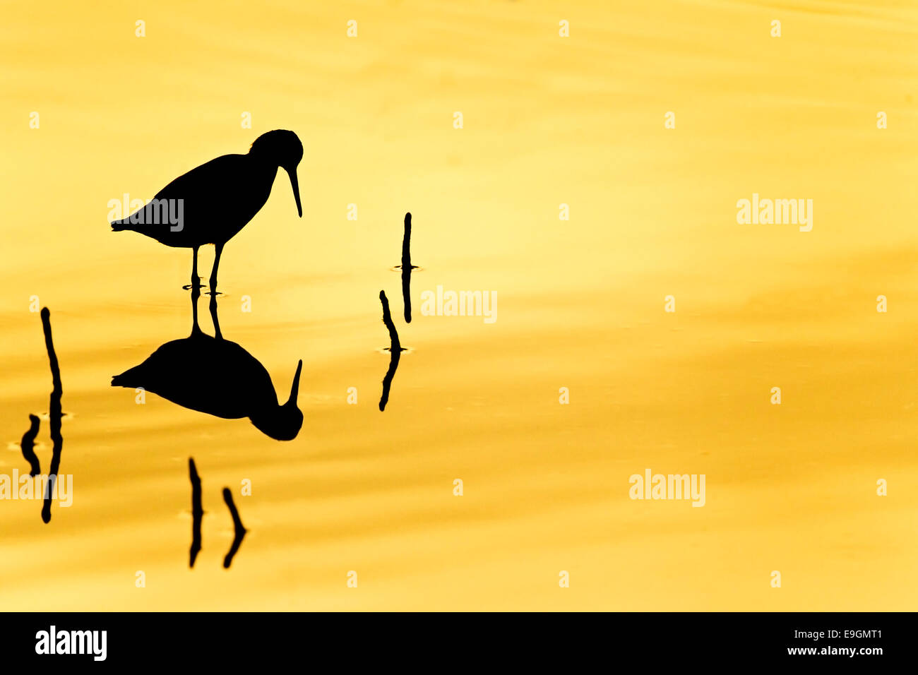 Silhouette reflection of a redshank (Tringa totanus) at sunset in a coastal wetland / tropical mangrove forest - Stock Image