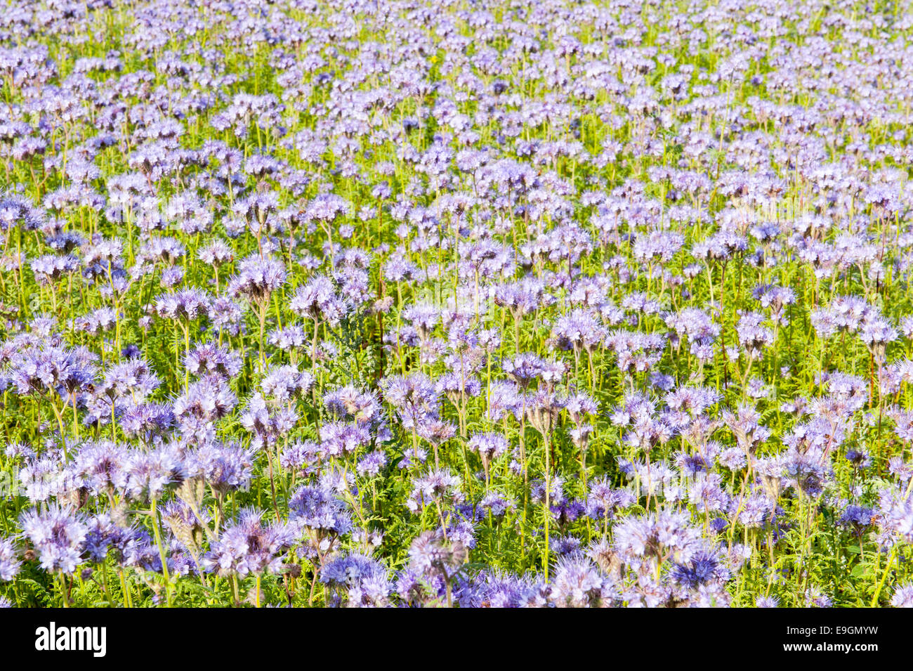 Field of lila wildflowers in green flowerbed for honey bees Stock Photo