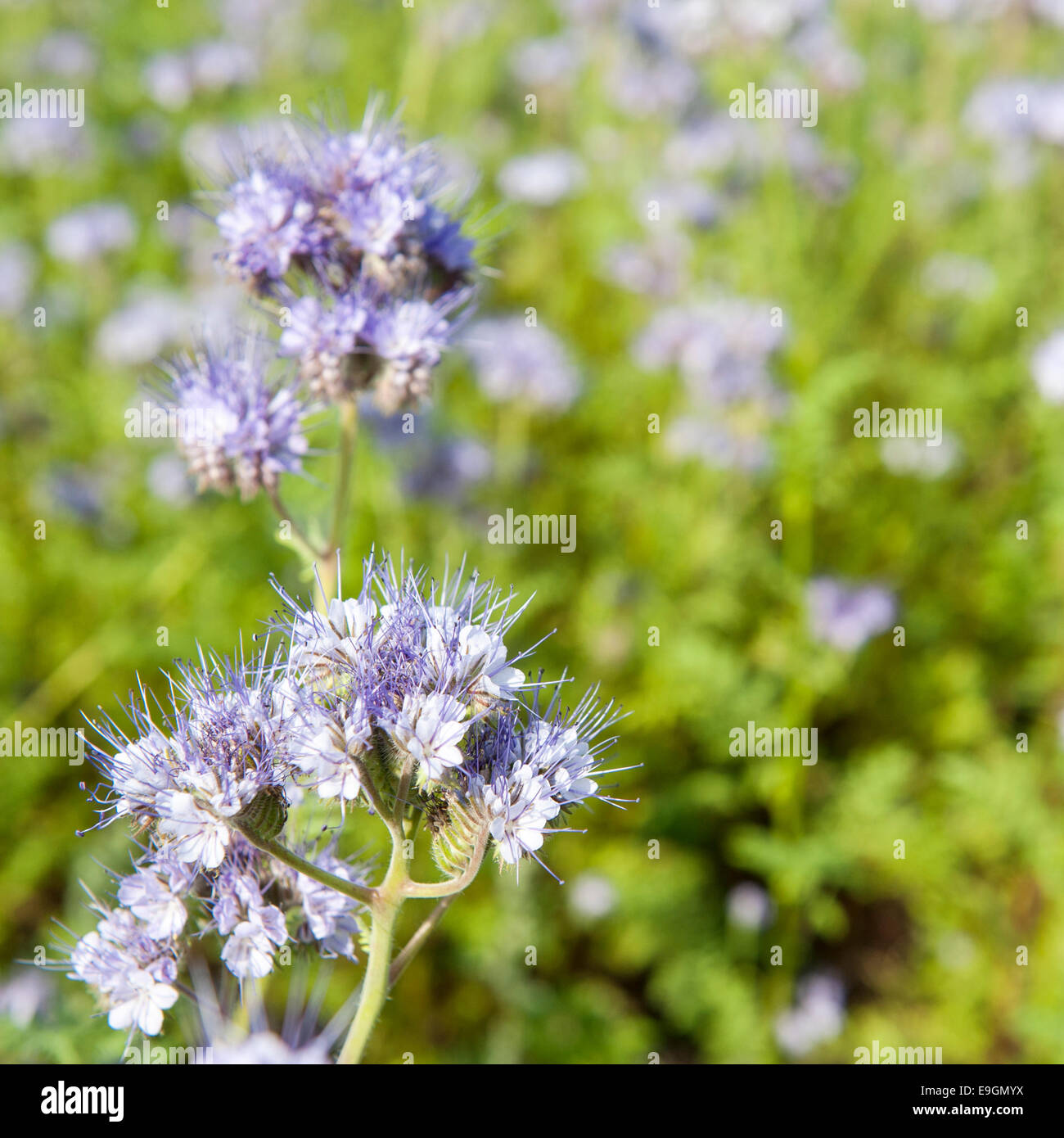 Light blue wildflower in close up against green foliage - Stock Image