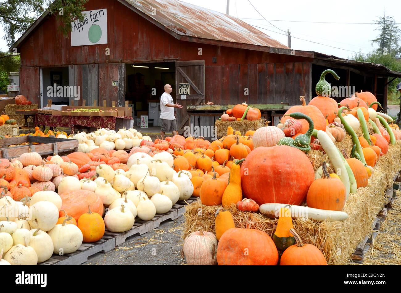 Display of pumpkins at a farnm near Sebastopol, California - Stock Image