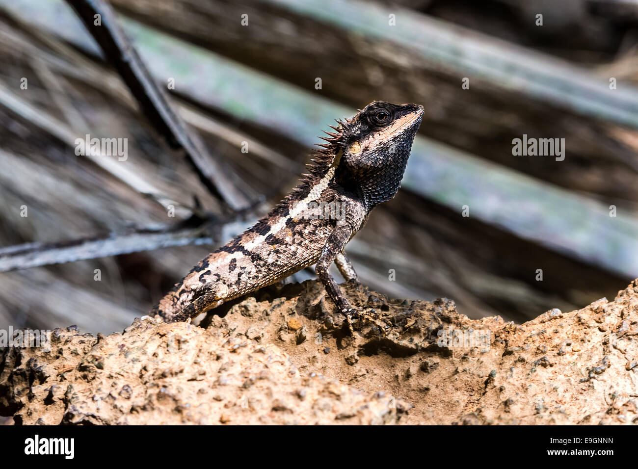 Lizard, reptile sitting on Rock in Thailand. - Stock Image