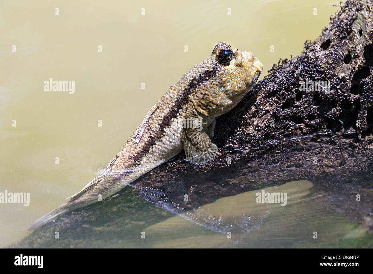 Giant Mudskipper (Periophthalmodon schlosseri) resting on mangrove tree root, these fish breathe out of water by - Stock Image