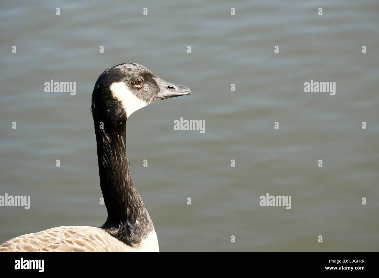 Canada Goose at the George C. Reifel Migratory Bird Sanctuary, Delta, BC, Canada - Stock Image